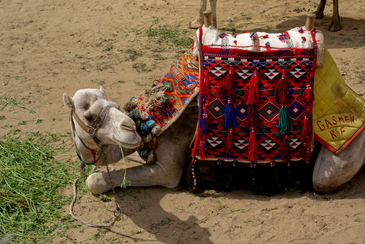 Beautiful stock photos of camel, , Animal, Bridle, Camel