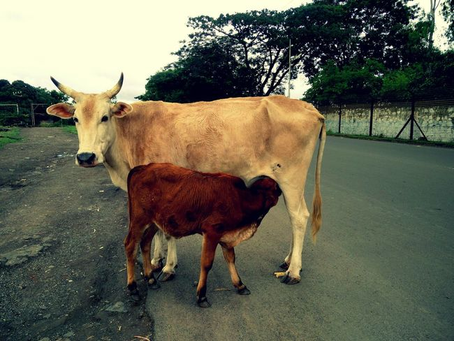 A single pic says many things. Pictures are the only way to show love. Cow Animal Themes Herbivorous Love Animallove Animallovers Motherlove