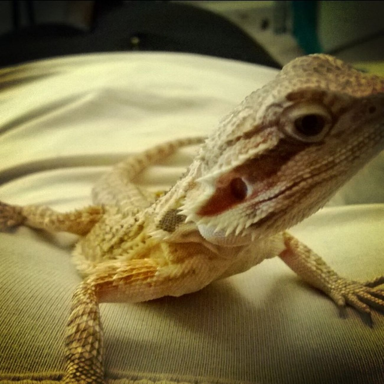 BabyBeardedDragon GettingSoBig 💚