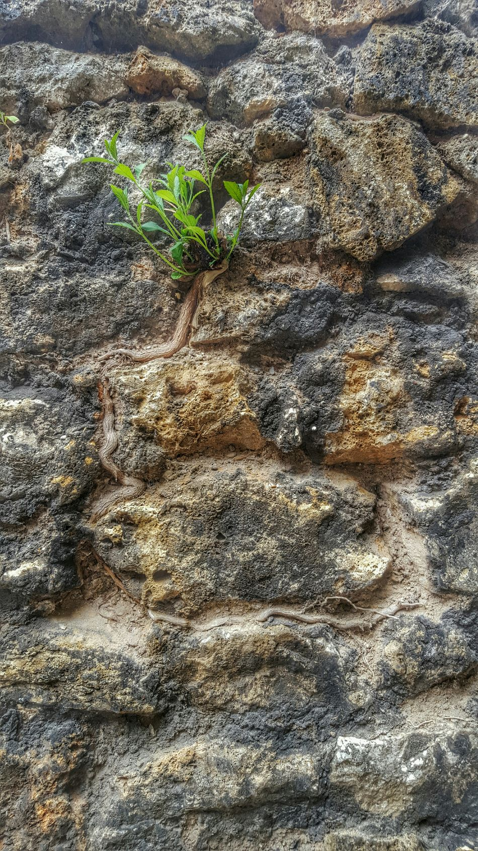 Wall Plant Plants 🌱 Plant In A Wall Plants On The Wall