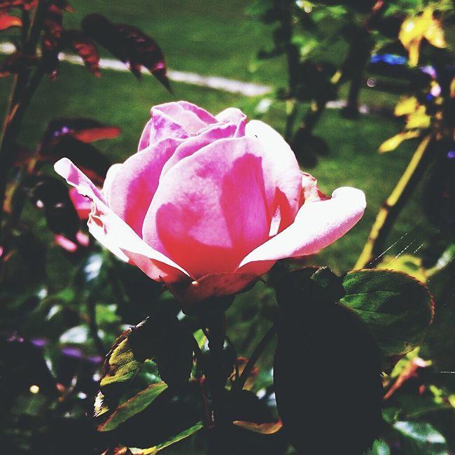 Love♥ милота😊 Hello World волшебно🎇 Eyeemphotography Enjoying Life EyeEm Flower EyeEm Nature Lover необычно Sweet Home♡ Hello World цветок  Beautiful ♥ Photography Cute♡ Красивая фотография цветы🌸🌼🌻💐🌾🌿 лето2016 Flower дома❤ отдых📱🎵🎶🎧 роза🌹🌹🌹 природа🍃 очень красиво Необычноефото💁🏽