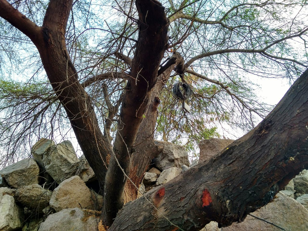 tree, tree trunk, nature, branch, day, no people, forest, outdoors, tranquility, beauty in nature, low angle view, bare tree, growth, scenics, landscape, sky, dead tree