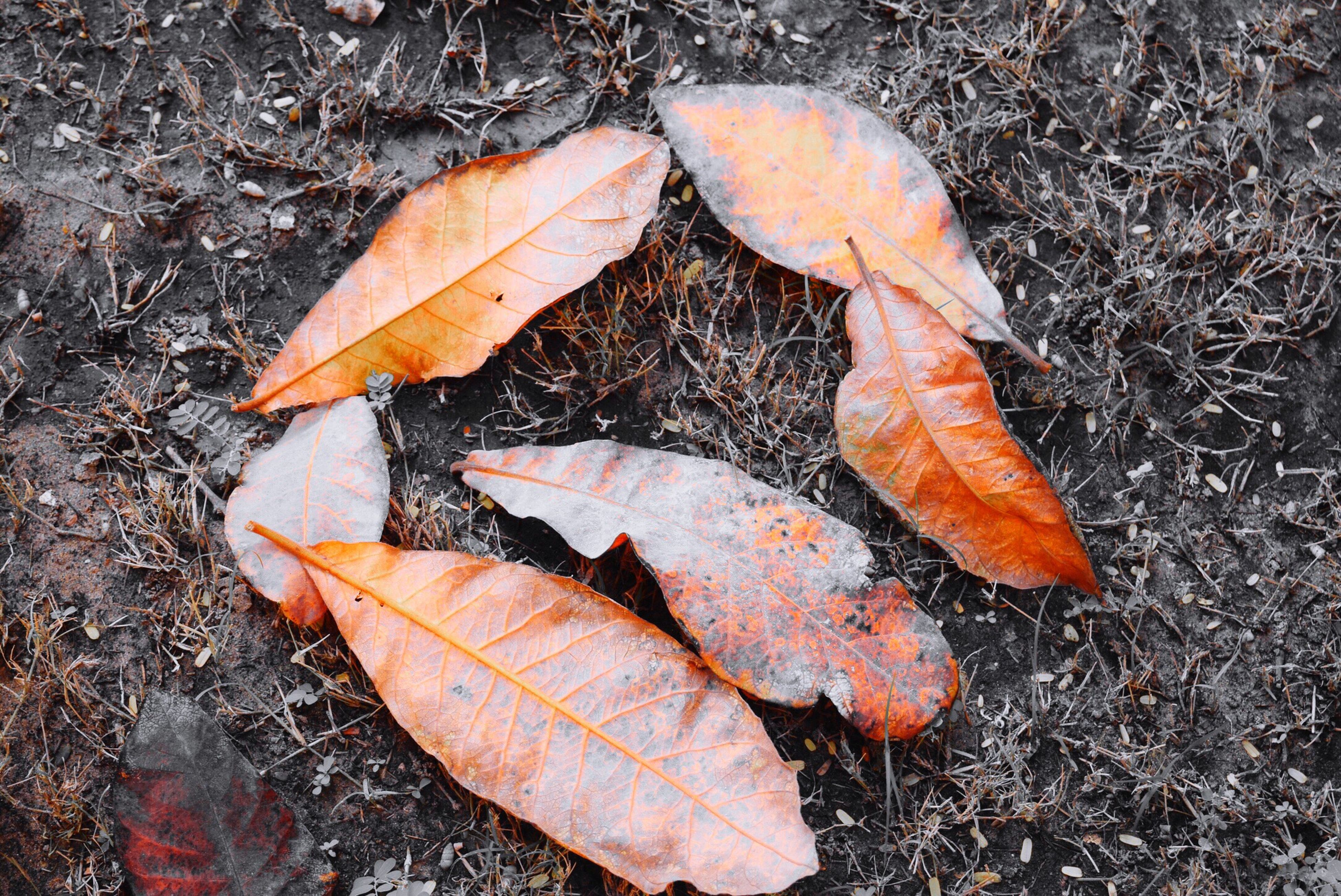 autumn, change, leaf, season, dry, leaves, fallen, high angle view, maple leaf, nature, orange color, close-up, field, ground, leaf vein, aging process, grass, natural condition, fragility, day