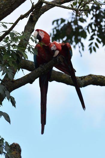 Bird Photography Bird Red Parrots Of Eyeem Scarlet Macaw Parrot Lover Parrot Zoo Wildlife Wildlife Photography Wildlife & Nature Macaw Macaw Parrot Macaws Macaw Bird. Macaw Red Perching Perching Bird Perching On A Branch