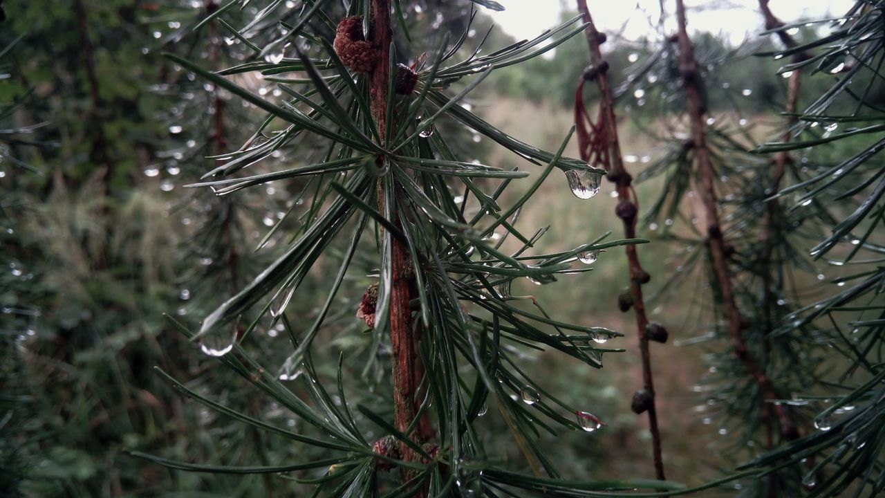 Conifer  Tree After The Rain Green Travel Waterdrops Detail Má Cimburk Nature