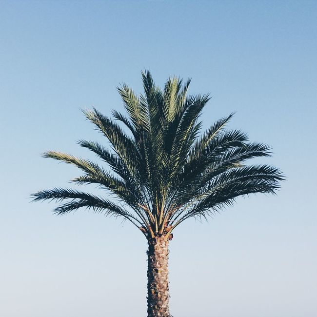Low Angle View Palm Tree Tree Trunk Clear Sky Tree Growth Scenics My Favorite Place Beauty In Nature Nature Branch Blue Tranquil Scene Day Outdoors Solitude Sky Majestic Palm Frond Tall Minimal Minimalism Geometric Clear Sky Valencia, Spain