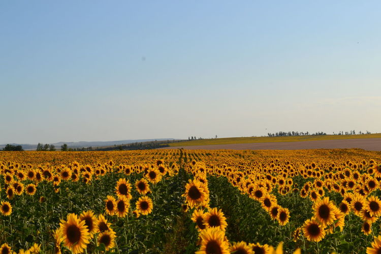 Beauty In Nature Cultivated Land Day Field Flower Horizon Over Land Landscape Nature No People Outdoors Plant Sky Sunflower Yellow Colour Of Life Pivotal Ideas