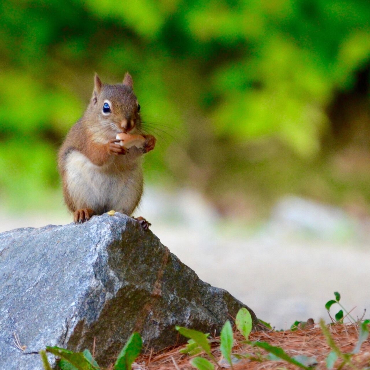 Red Squirrel Animal Themes One Animal Nature Squirrel Animals In The Wild Outdoors Mammal Rodent No People Animal Wildlife Close-up Day
