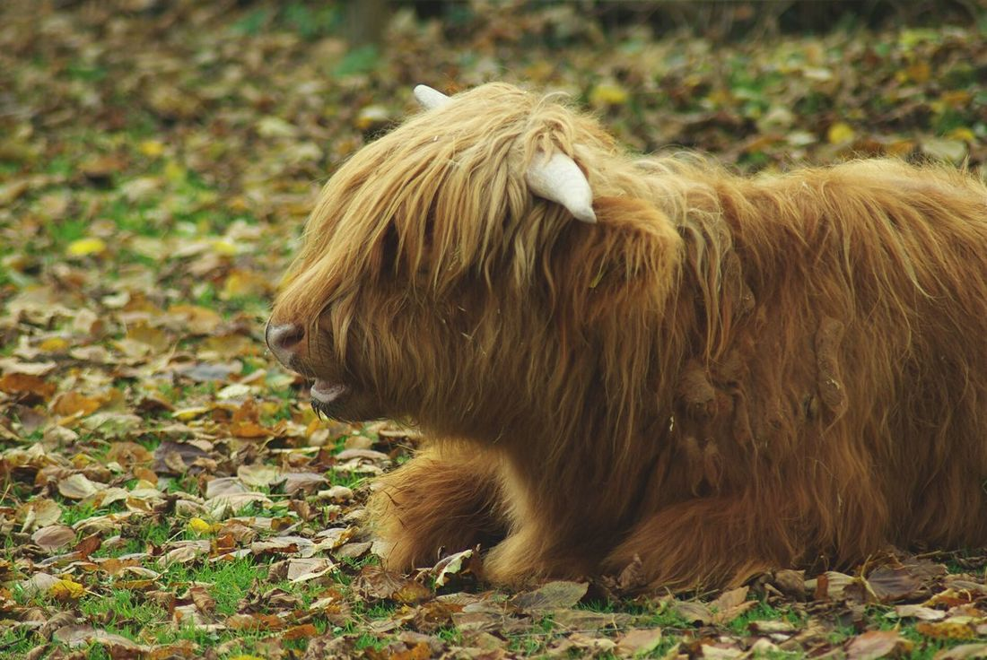 Baby buffalo Buffalo Baby Animals Baby Animal Animals Animal Animal_collection Animal Photography Buffalos EyeEm Animal Lover Animal Love Sitting Taking Photos Tadaa Community Taking Pictures Showcase: November Cute Baby Animals Highland Cattle Pet Portraits