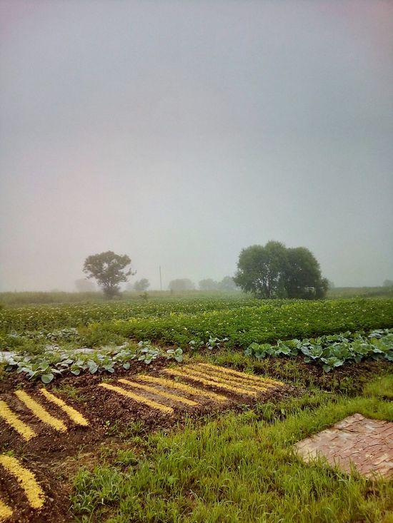 Foggy morning in the countryside Morning Morning Light Fog Foggy Morning Misty Morning Mist Agriculture Agricultural Land Cabbages Potato Field Garden Country Countryside Village Village View Nature Beauty In Nature Landscapes Russia Summer July