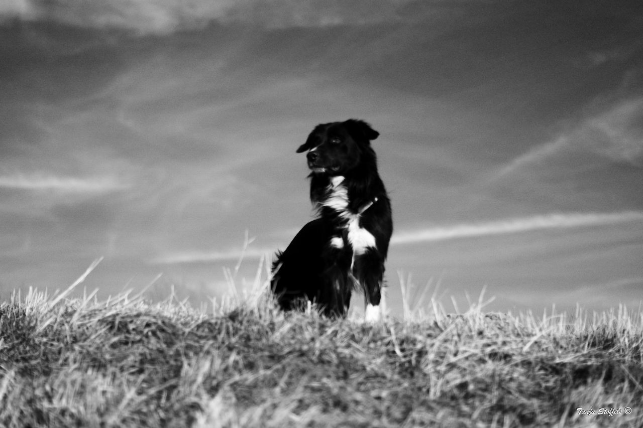 dog, domestic animals, pets, one animal, animal themes, grass, field, mammal, no people, outdoors, nature, day, sky