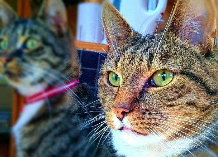 Dexter and Cookie Cats Cats Of EyeEm Alertness Cat Brothers Tabby Cats Tom Cats Best Buddies  Cute Cats Green Eyes