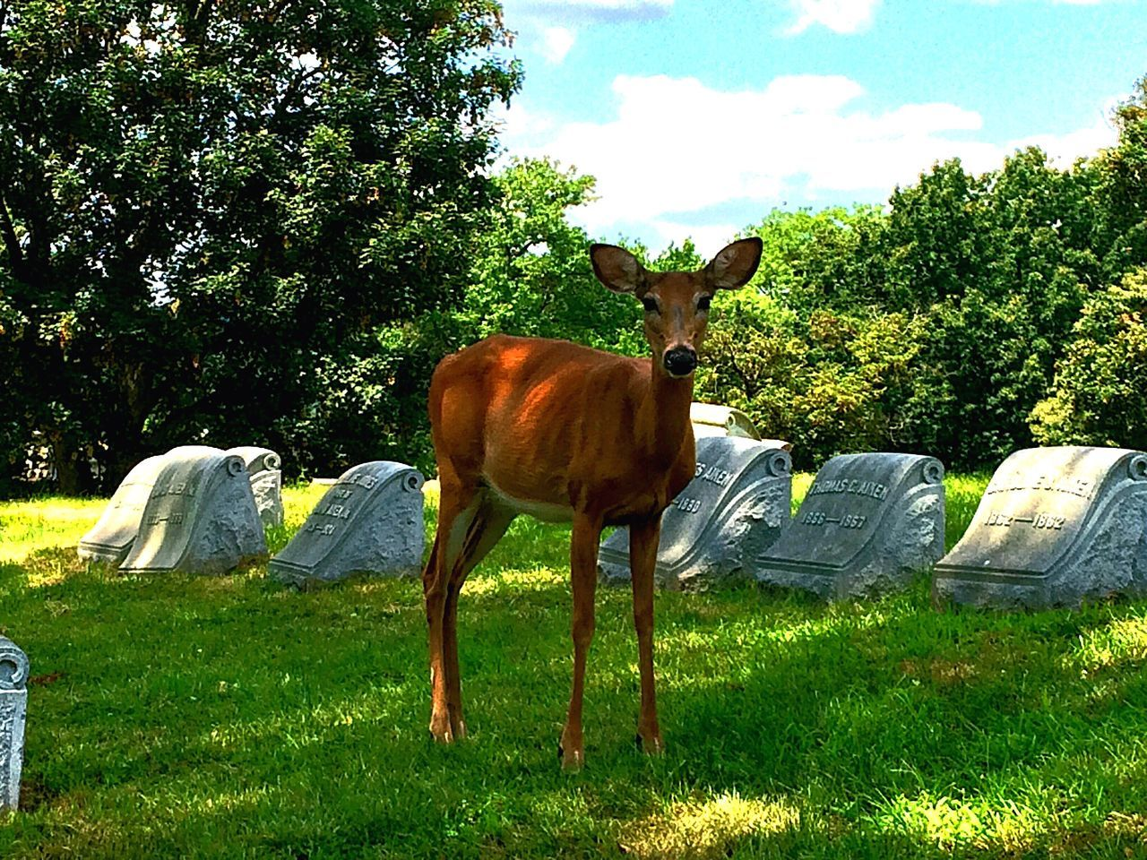 Portrait Of Deer Standing On Grassy Field At Cemetery
