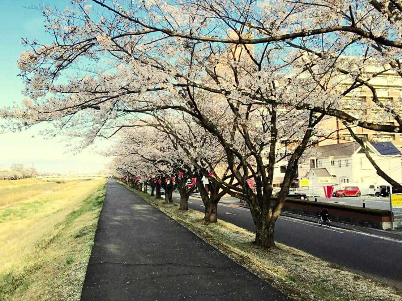 Sakura <3 Kawaii Desu! :3