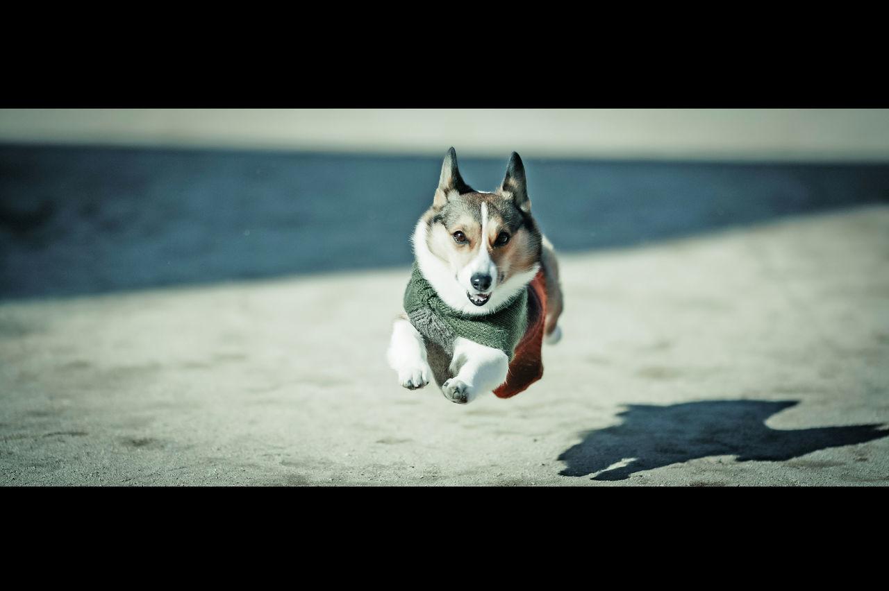 Run Running Dash Fly Flying I Believe I Can Fly  Dog Corgi Welsh Corgi Pochiko