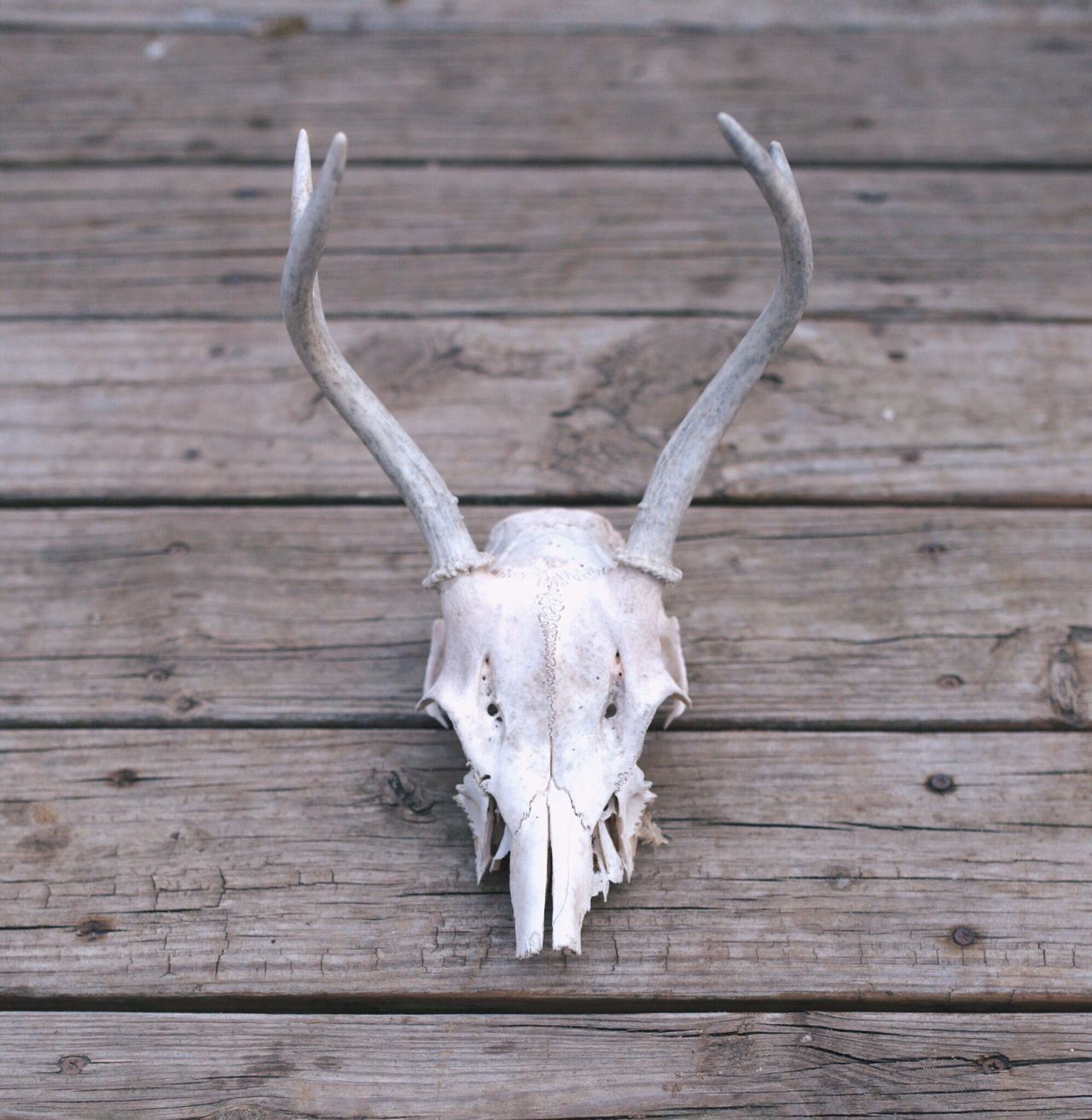 Beautiful stock photos of skull, Animal Body Part, Animal Bone, Animal Skull, Animal Themes