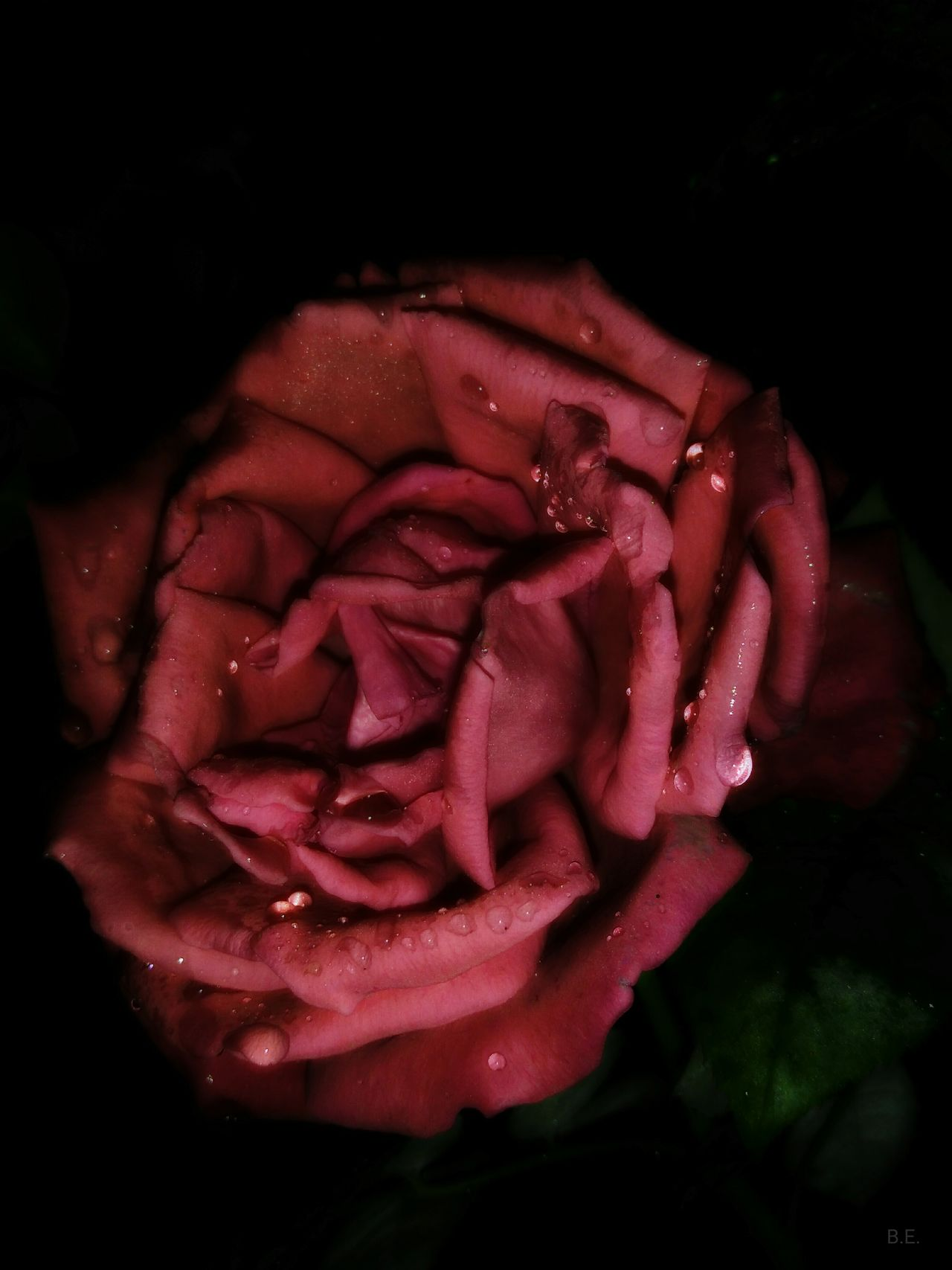 Flower Head Beauty In Nature Romance Rosé Petal Single Flower Close-up Rose - Flower Flower RainDrop Rain Drops On Petals