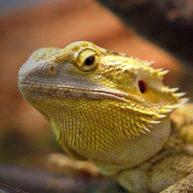 What do you look? Animal Exsotic Pogona Rettile