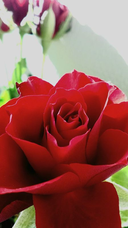 Red Roses Valentine's Day