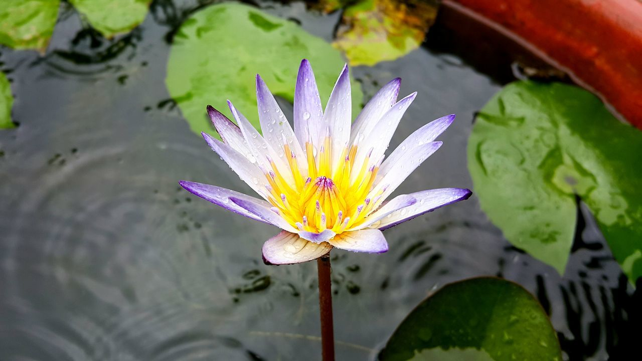 Purple Lotus Taiwan Jay's Flower Beautiful