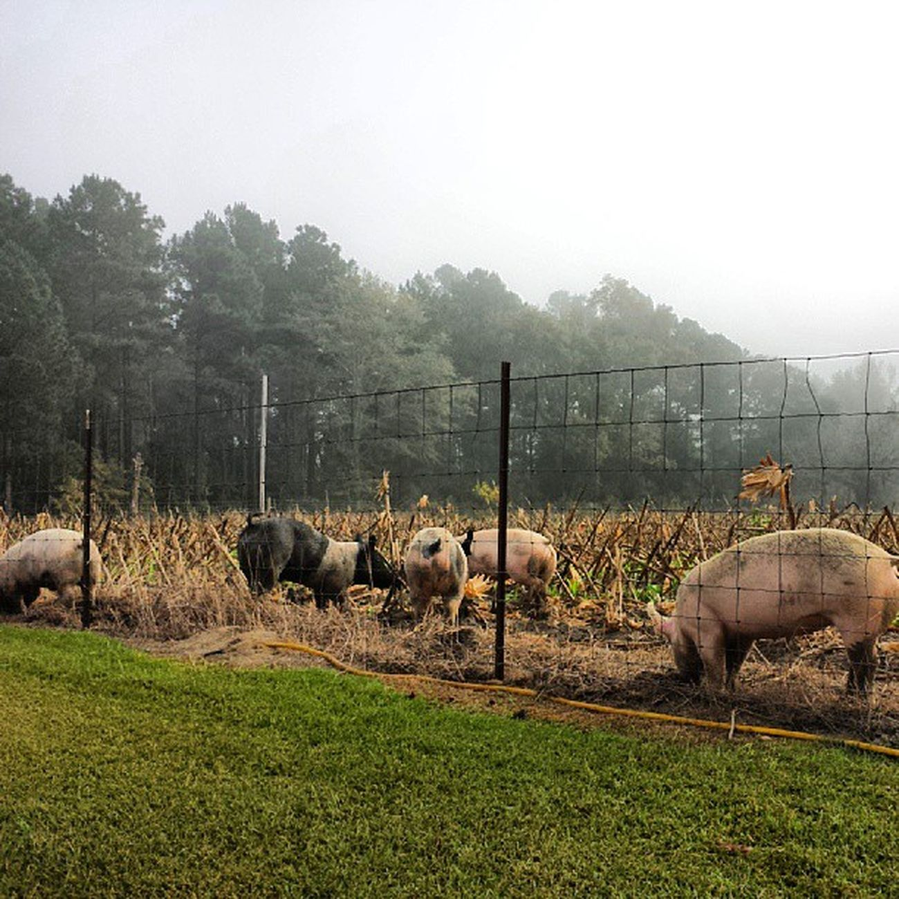 Pork, Chop, Bacon, Side, and Stumpy playing in the field on a foggy morning. Pigs Ruralgeorgia Harrisonga Georgia