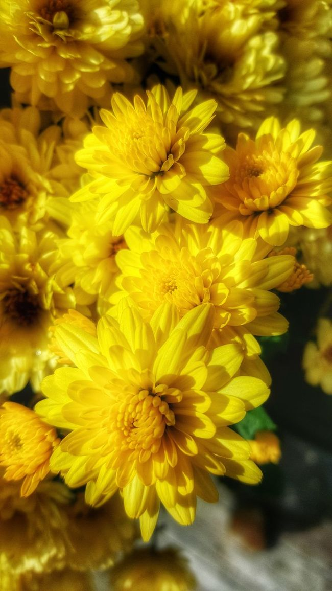 A beautiful day to be outside. Flower Flower Yellow Fragility Beauty In Nature Petal Backgrounds Nature Freshness Flower Head Close-up No People Full Frame Chrysanthemum Vertical Growth Studio Gerbera Daisy Outdoors Day Yellow Color