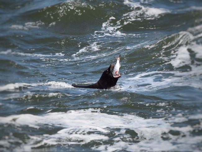 Don't choke! Sea Lions Wildlife EyeEm Best Shots EyeEm Best Shots - Nature EyeEm Nature Lover Streamzoofamily Animals Amazing The Moment - 2015 EyeEm Awards The Great Outdoors - 2015 EyeEm Awards