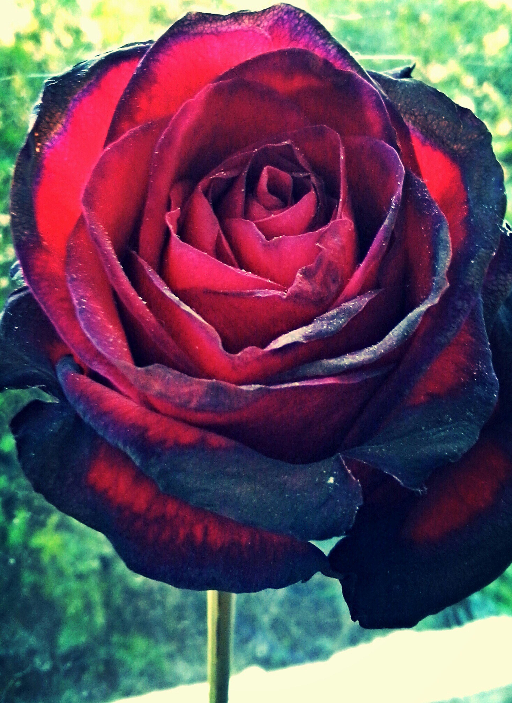 Flower Beauty Of Nature Garden Grandmas Gift Rose🌹