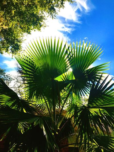 Sunshine penetrating a Sabal Palmcreating cool shadows and colors in Jacksonville Florida in Ridge view housing development Tree Palm Tree Sky Low Angle View Green Color Outdoors Day Sabal Palm Sunshine Shadows & Lights No People Vendor