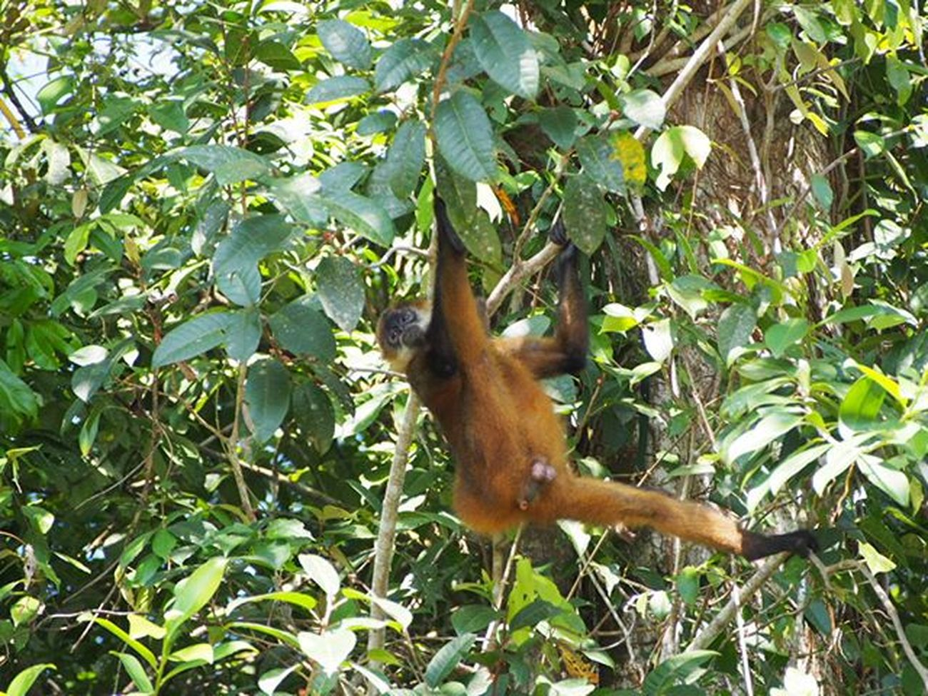 An 'old' photo of a monkey hanging around in a tree in Tortuguero National Park, Costa Rica -------------------------------------------- Monkey Monkeys Monkeyseemonkeydo Monkeybusiness  Wildlife Naturelovers Naturephotography Wildlifephotography Olympus Gadventurestour Gadventures Costarica Costarica2015 Explorecostarica Tortuguero  Tortugueronationalpark Travel Travelling Natgeo Natgeowild Natgeowildlife