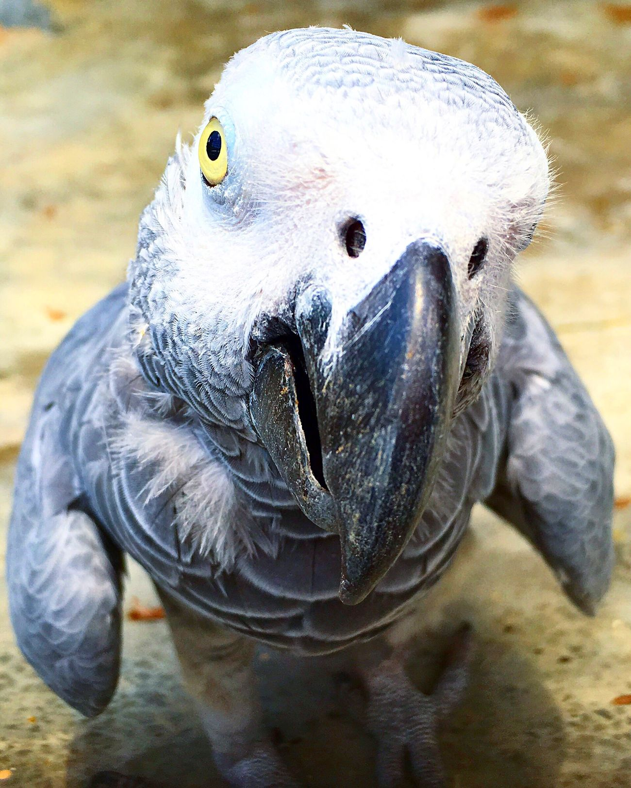 Emperorvalleyzoo Trinidad And Tobago Trinidad Parrot IPhoneography Iphone6s Nofilter