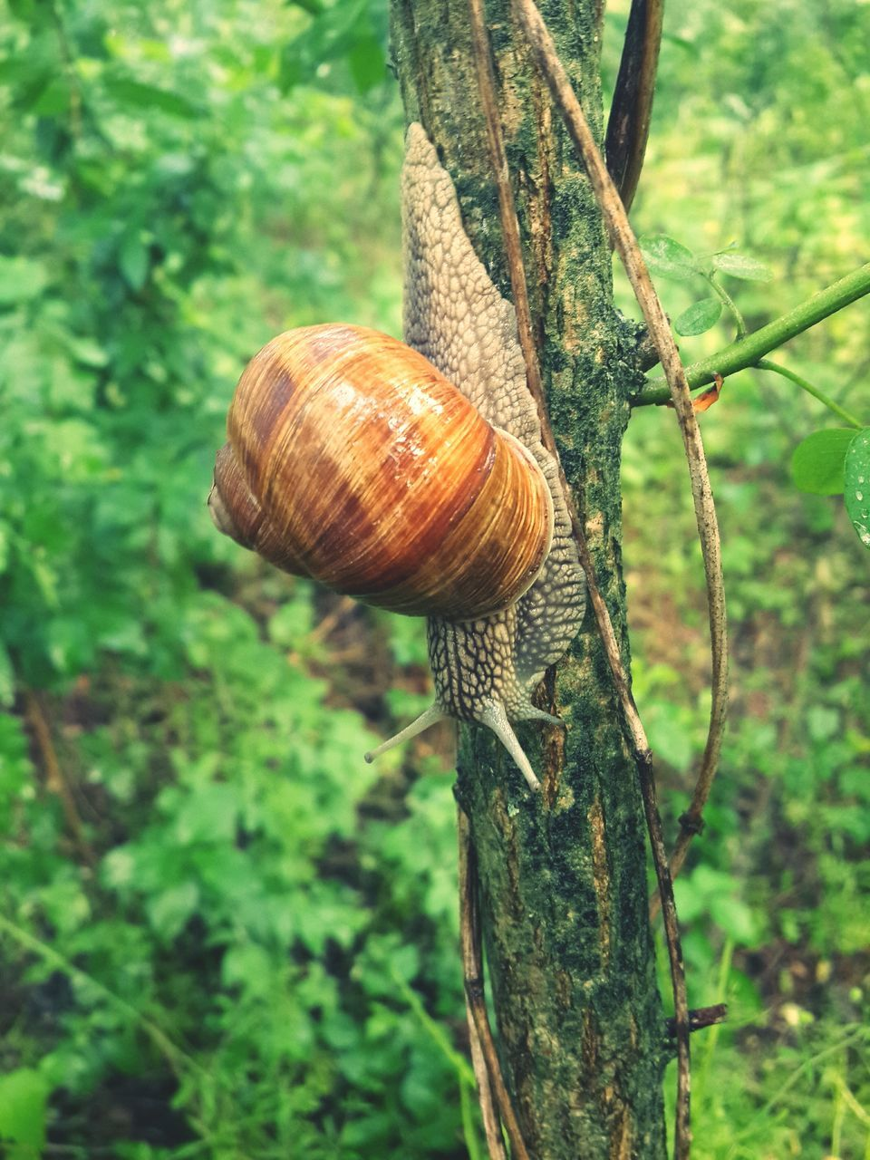 snail, animal shell, gastropod, one animal, animal themes, nature, no people, wildlife, close-up, day, outdoors, focus on foreground, animals in the wild, fragility, beauty in nature, tree