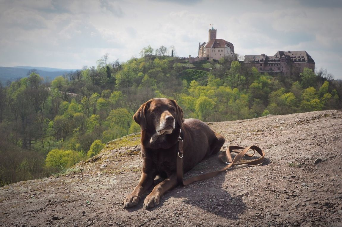 Pet Portraits EyeEm Selects Animal Themes One Animal Domestic Animals No People Pets Dog Outdoors Nature Mountain Tourism Wartburg In Eisenach/ Germany Architecture Burg Thüringer Wald Wanderlust