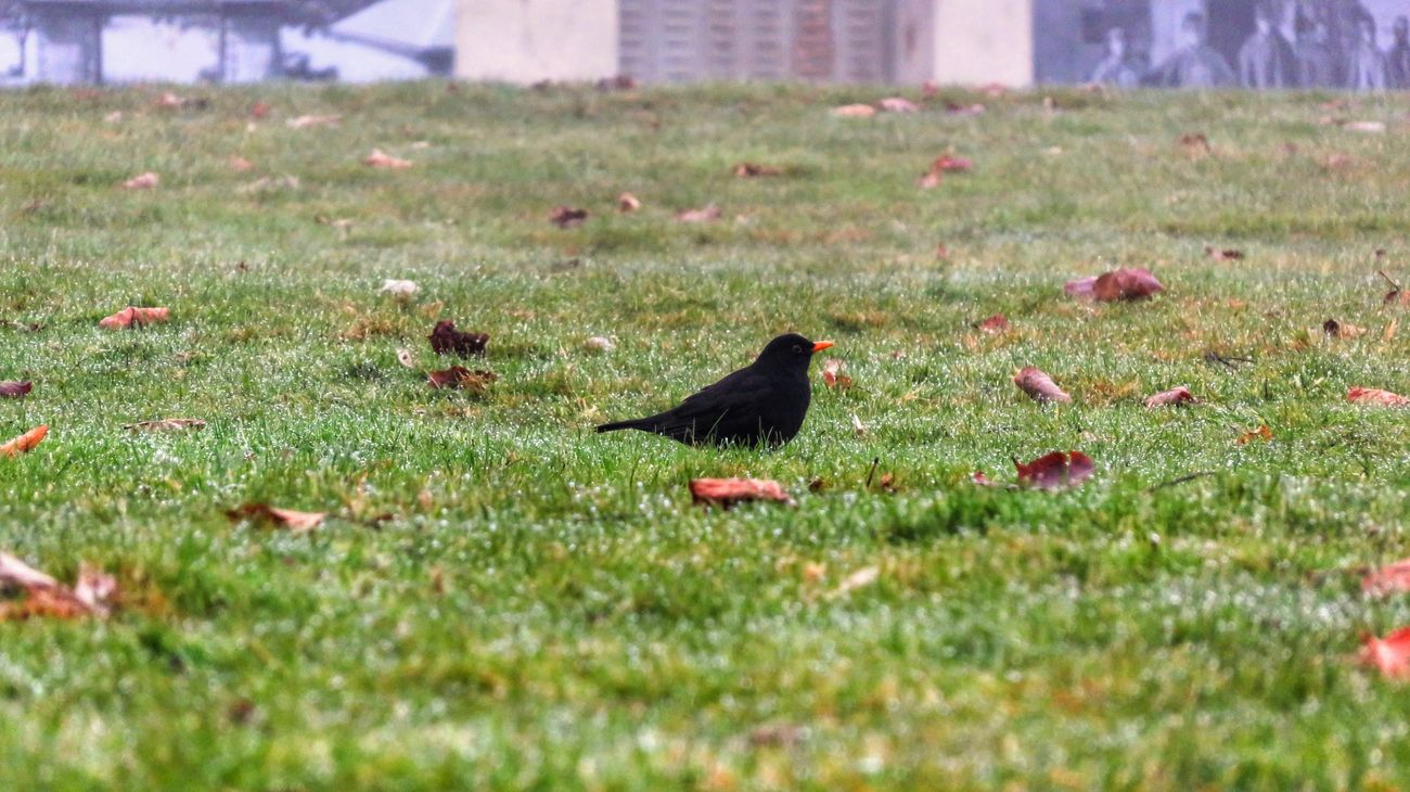 Animal Themes Bird Grass Nature Day No People Blackbird Outdoors Oiseau Birds🐦⛅ Bird Photography Green Canon Canonphotography Canonpowershot Eau Water Cold Cold Winter ❄⛄ Photo Photography Focus First Eyeem Photo