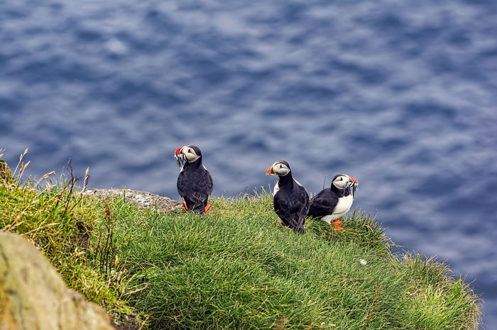 Puffins on the famous bird island Mykines, Faroe Islands Puffin Island Animal Themes Animal Wildlife Animals In The Wild Beauty In Nature Bird Bird Island Day Farao Island Grass Growth Mykines Nature No People Outdoors Perching Puffins Water