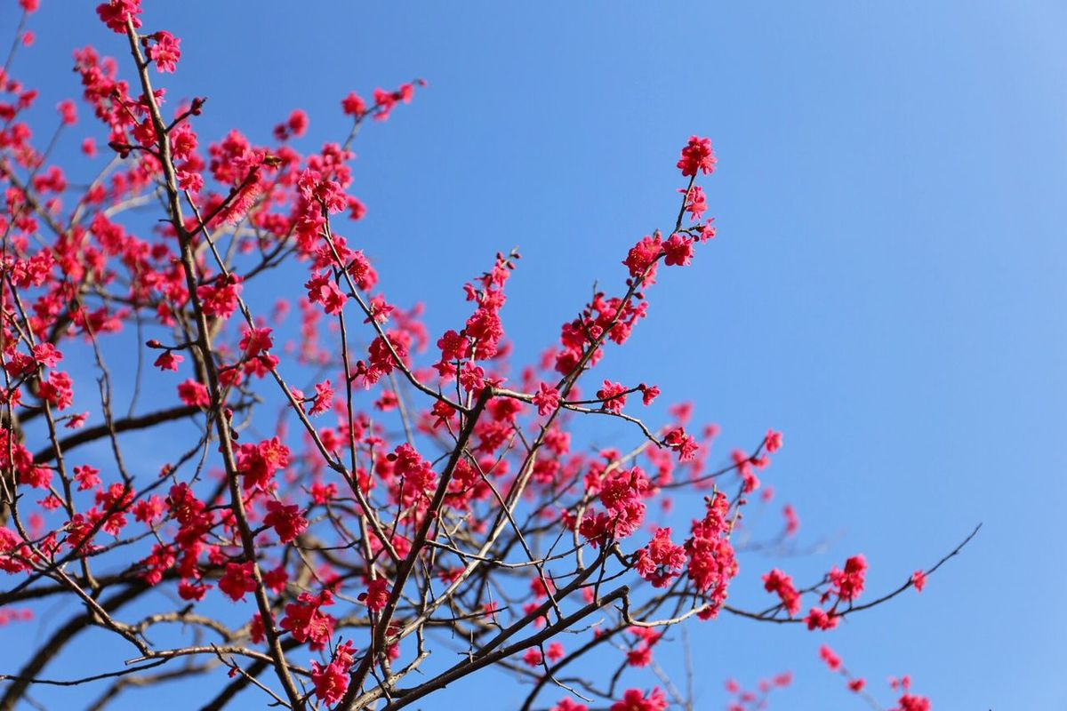Ume Blossom Japanese Ume Red Flower Ohanami Japanese Culture Japon Japan Enjoying Life Flowers