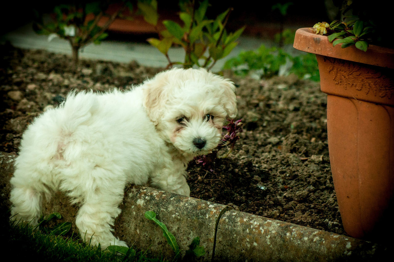 Animal Themes Bichonfrise Day Dog Domestic Animals Mammal Nature No People One Animal Outdoors Pets Puppy
