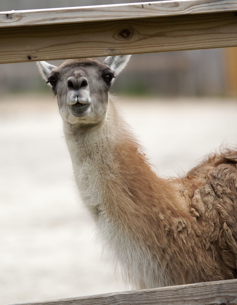 mammal, animal themes, one animal, day, livestock, focus on foreground, outdoors, domestic animals, no people, animals in the wild, field, nature, animal wildlife, llama, portrait, close-up