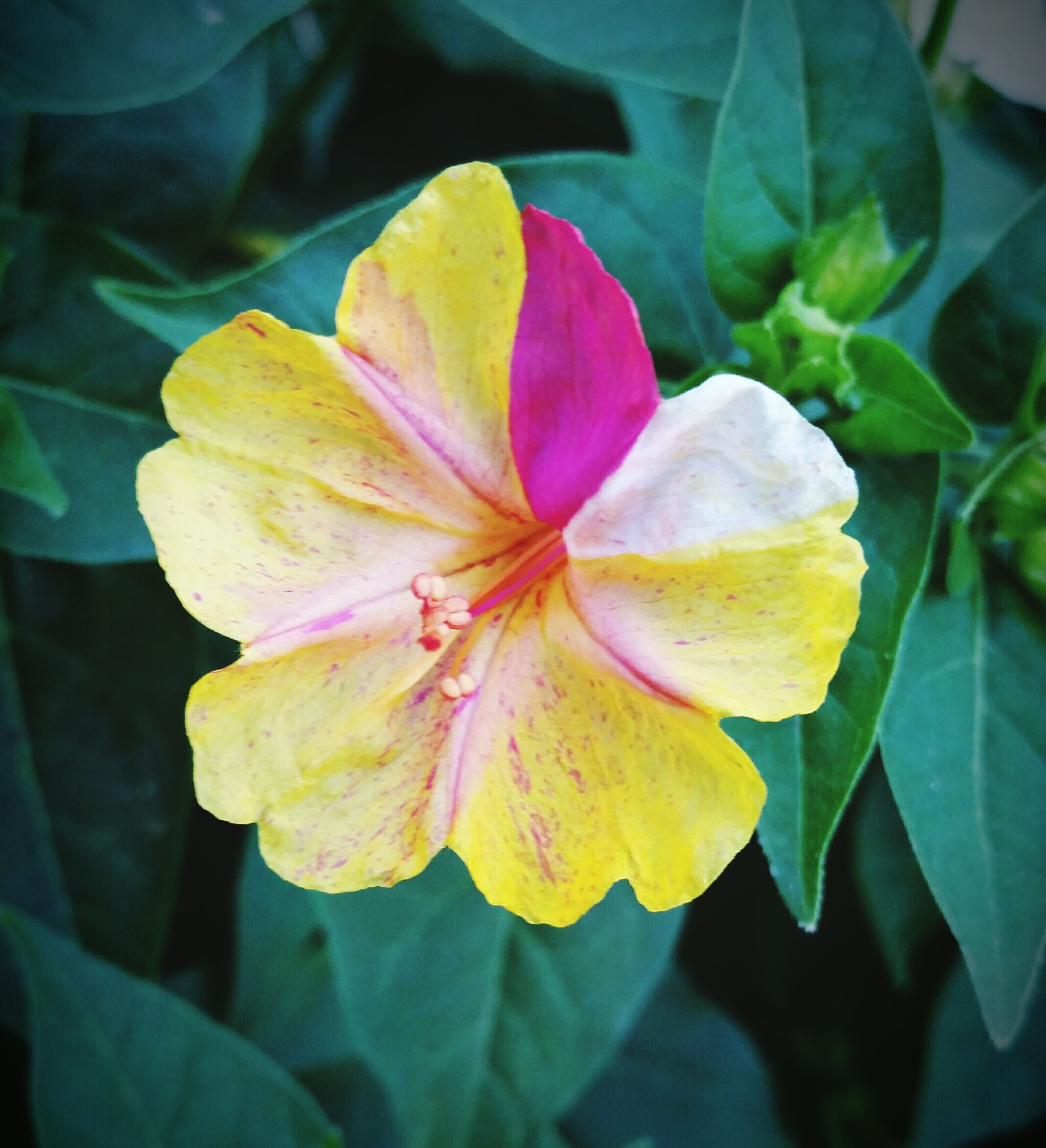 flower, petal, flower head, freshness, fragility, growth, beauty in nature, close-up, single flower, blooming, nature, stamen, focus on foreground, yellow, leaf, in bloom, plant, pollen, hibiscus, blossom