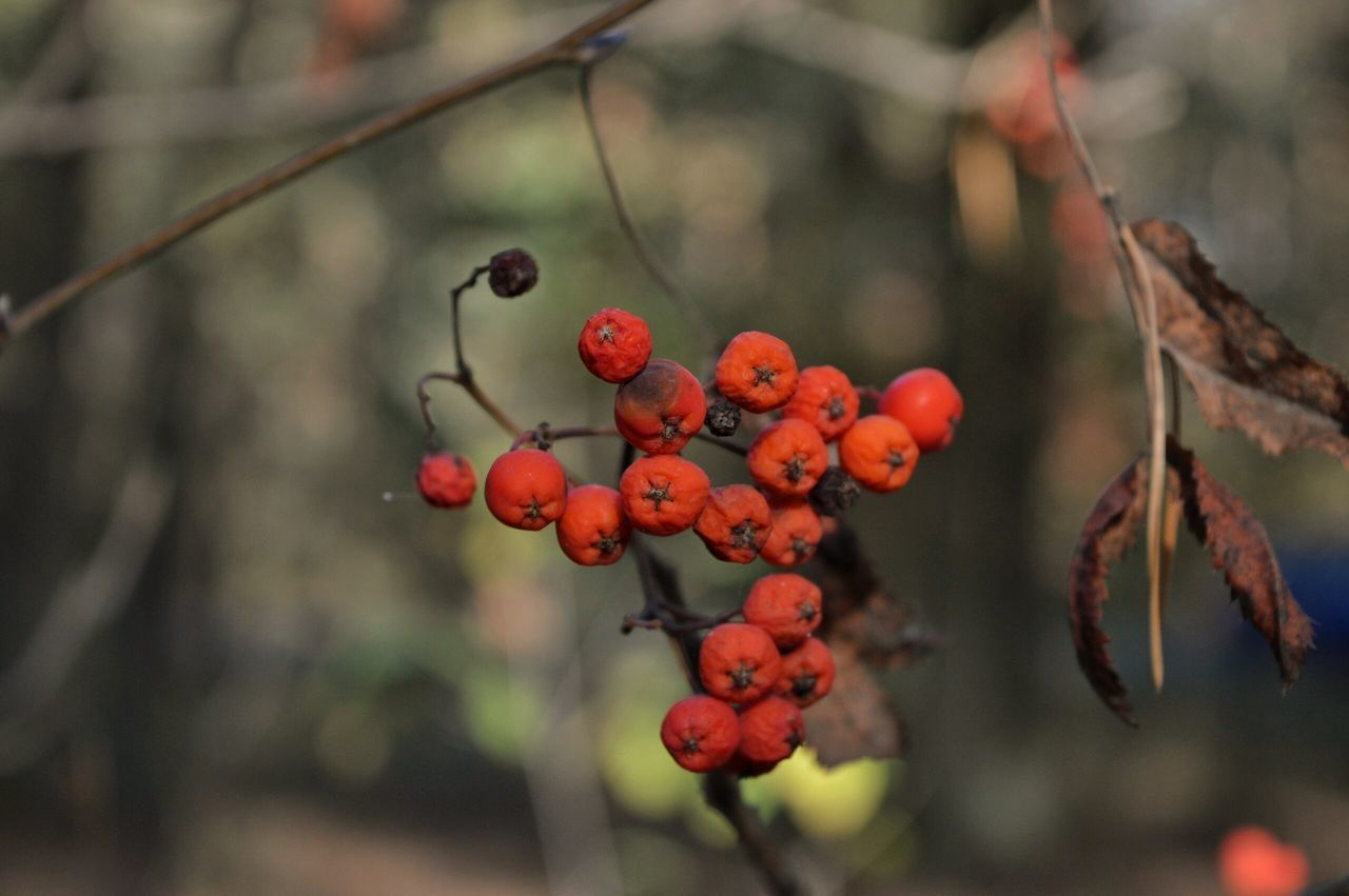 Fruit Close-up Red Tree Nature Focus On Foreground Food And Drink Outdoors Freshness No People Growth Day Beauty In Nature Food Berrys