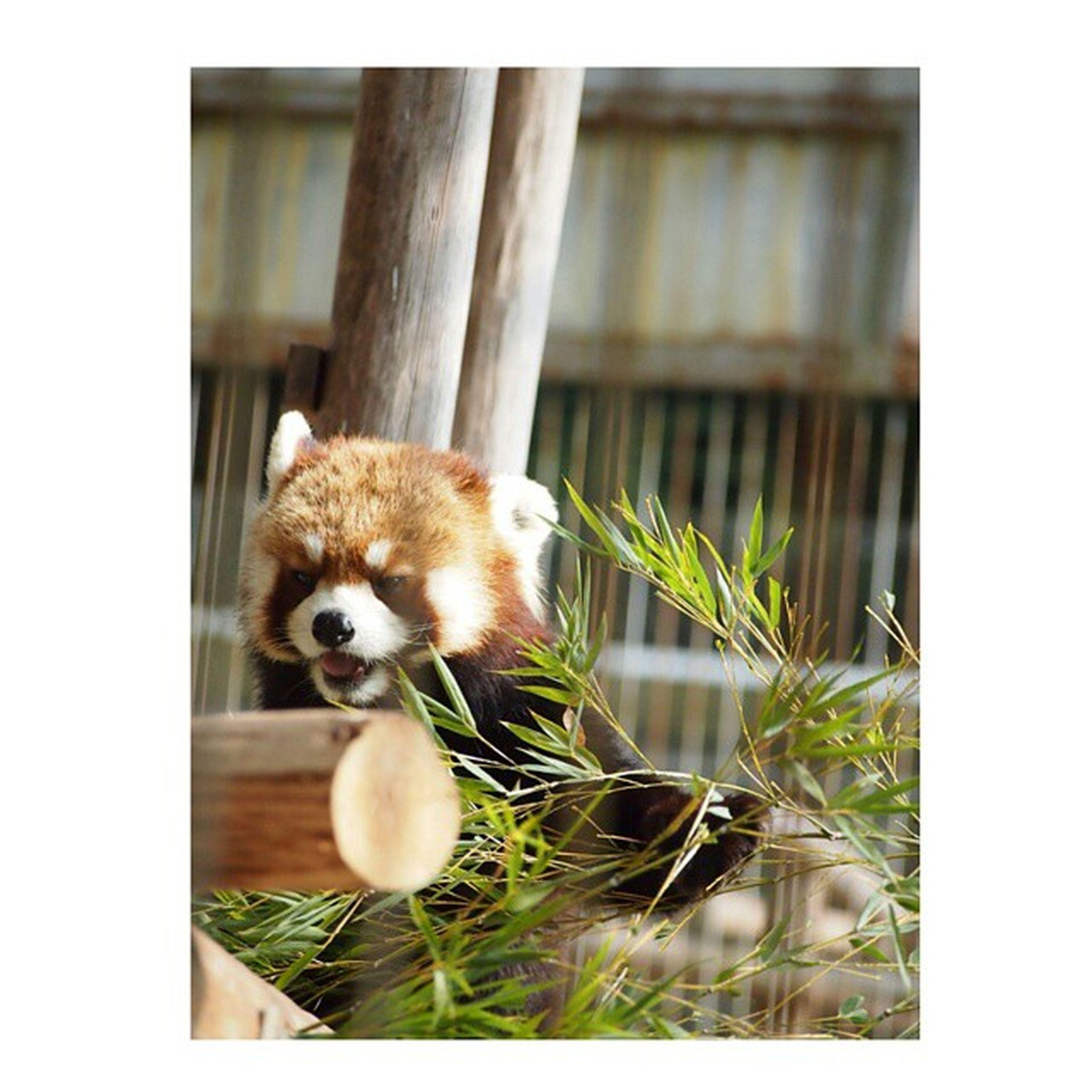 日曜日、動物園に行ってきました ・ 今年初の動物園、今回も動物たちにたくさんの元気をもらってきました◎ ・ ・ 1月に赤ちゃんが生まれるよーと聞いていたシマウマさんは、まだ大きなお腹をしていて、もうそろそろかな?と言う感じでした♩ ・ 春が近いからか、動物たちが少しそわそわしていて、ほとんどの動物たちが珍しく起きて活動していました 笑 ・ いつもはだらだら~っと寝ていてばかりなレッサーパンダだけど、今回はお食事シーンが見られました♡ 動物 動物園 Animals_cuts レッサーパンダ lesserpanda食事中zooanimals