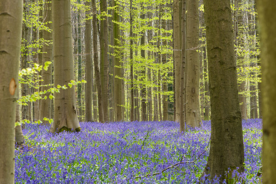 Hallerbos with blue bell flowers Beauty In Nature Blue Bells Close-up Day Flower Forest Fragility Freshness Growth Hallerbos Nature No People Outdoors Plant S Sunlight Tree Tree Trunk