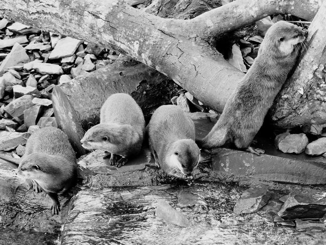 Black and white otters. Animal Themes Mammal Resting Young Animal Vertebrate Herbivorous Zoology Animal Domestic Animals Animals Animal Behavior Day Outdoors Otters Otter Zoo Blackandwhite Black And White Wildlife Nature Wildlife & Nature Eating