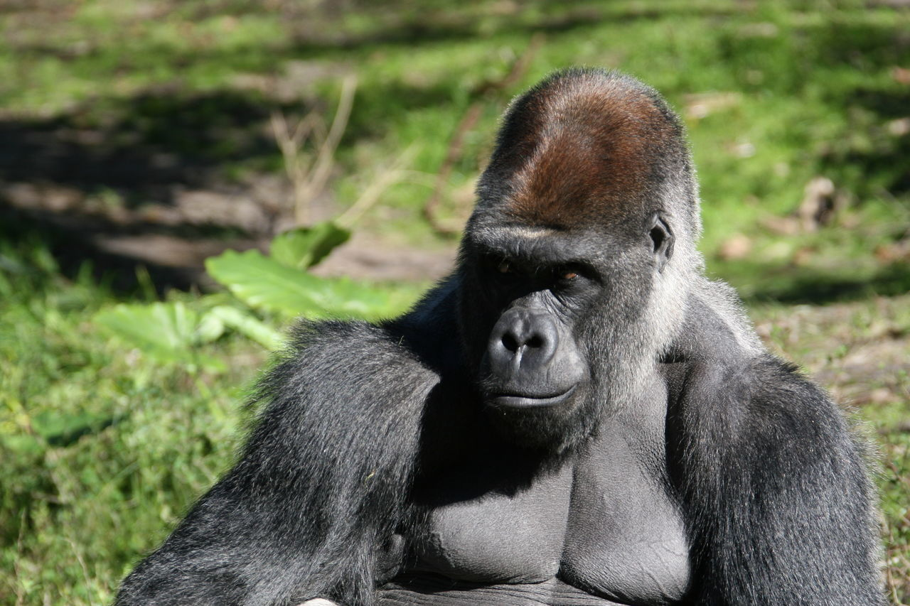 Beautiful stock photos of gorillas, Animal Themes, Animal Wildlife, Animals In The Wild, Beauty In Nature