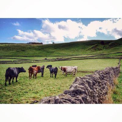 Cows in a field. Nature Animals Ig_britishisles Capturingbritain_rural capturingbritainuk_potdhidden_ukicu_britainrsa_naturederbyshireloves_landscapeloves_united_kingdom