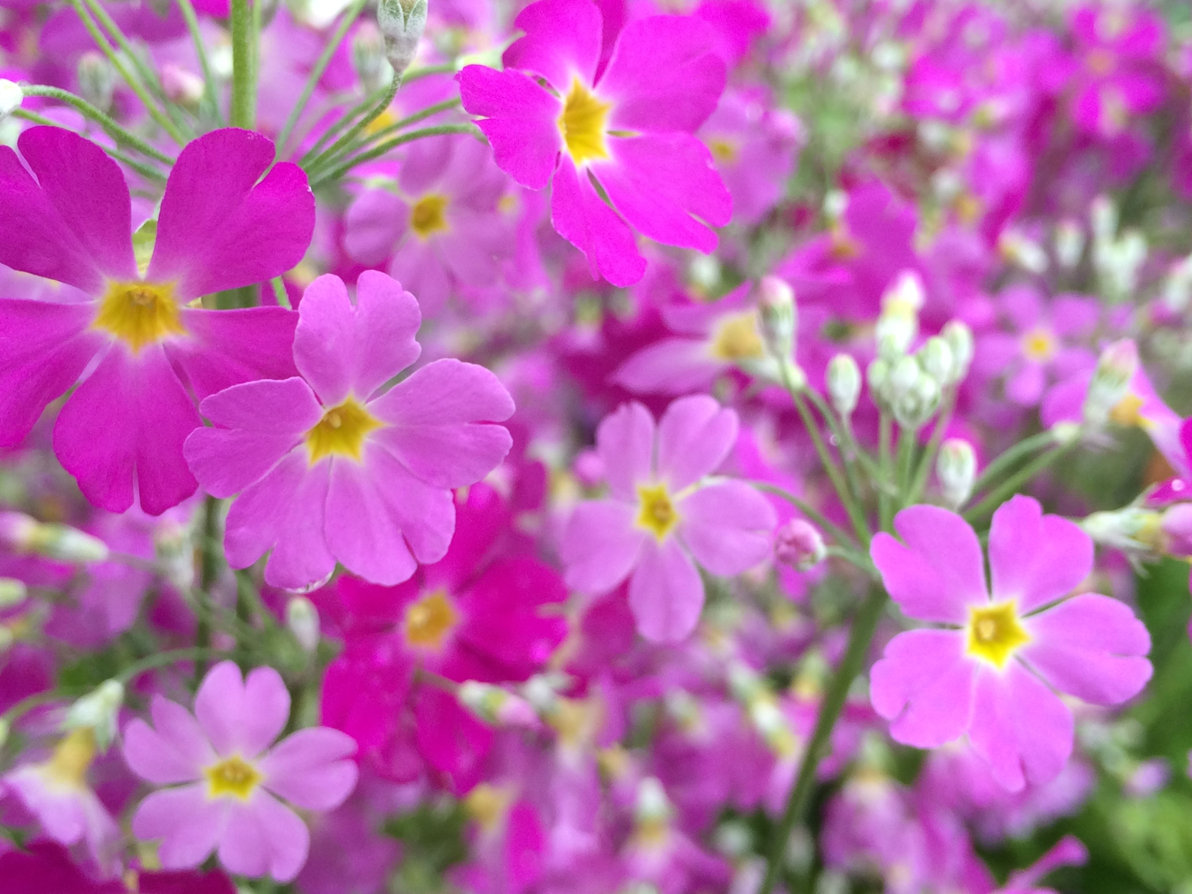 flower, freshness, petal, fragility, growth, beauty in nature, flower head, pink color, blooming, nature, close-up, focus on foreground, in bloom, pollen, blossom, plant, day, selective focus, park - man made space, no people