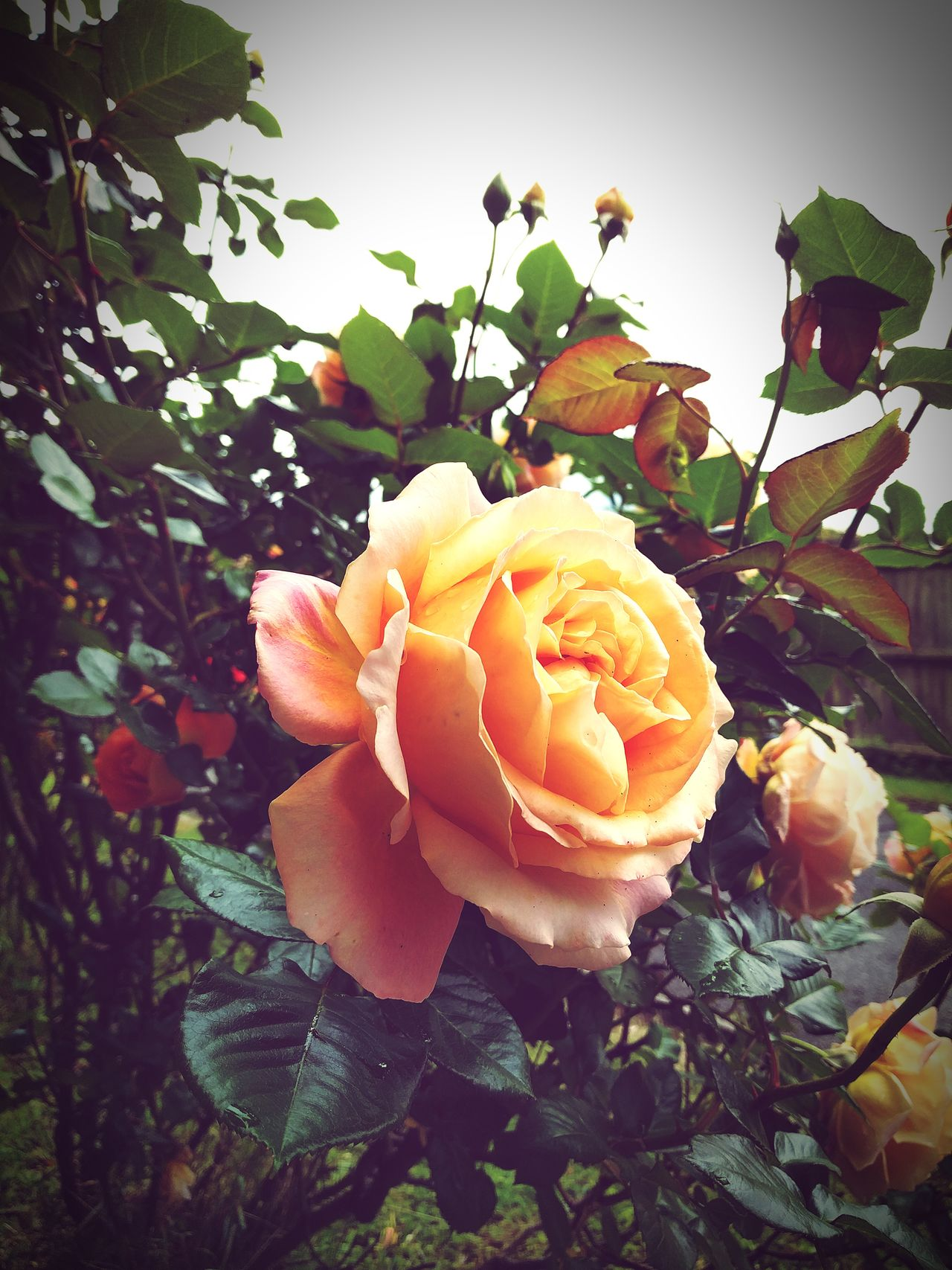 Rose Bush Nature Growth Flower Plant No People Beauty In Nature Day Outdoors Freshness Fragility Flower Head Food Close-up Yellow Rose Yellow Rose🌹 Bush