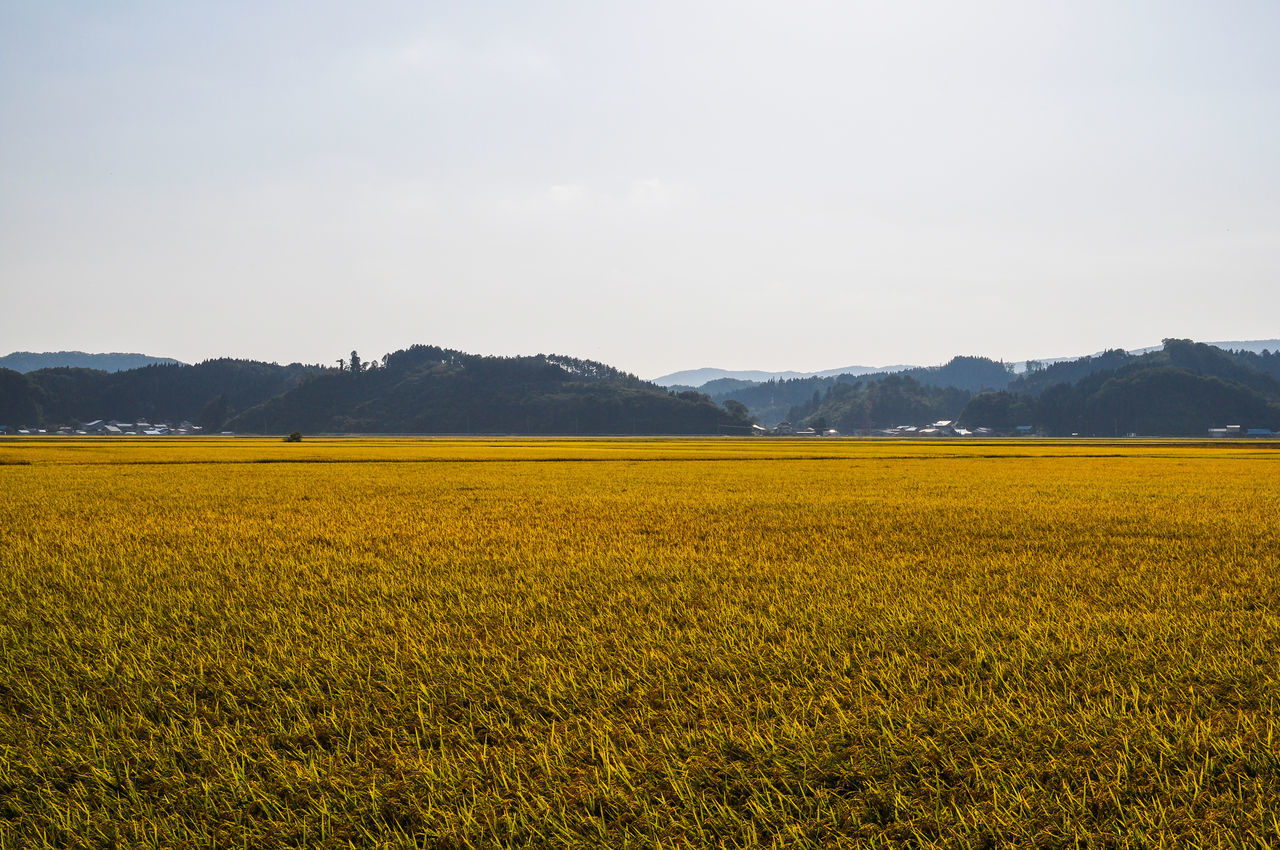 Fukusima Gold Japanese Landscape Japanese Photography Landscape_Collection Paddy Paddy Field Yellow