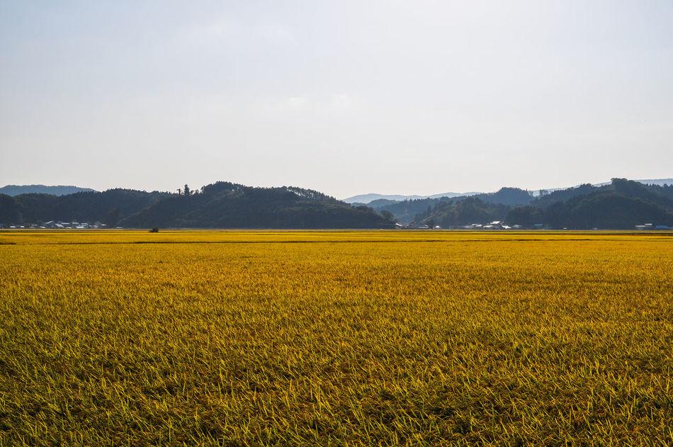 Fukusima Gold Japanese Landscape Japanese Photography Landscape_Collection Paddy Paddy Field Yellow