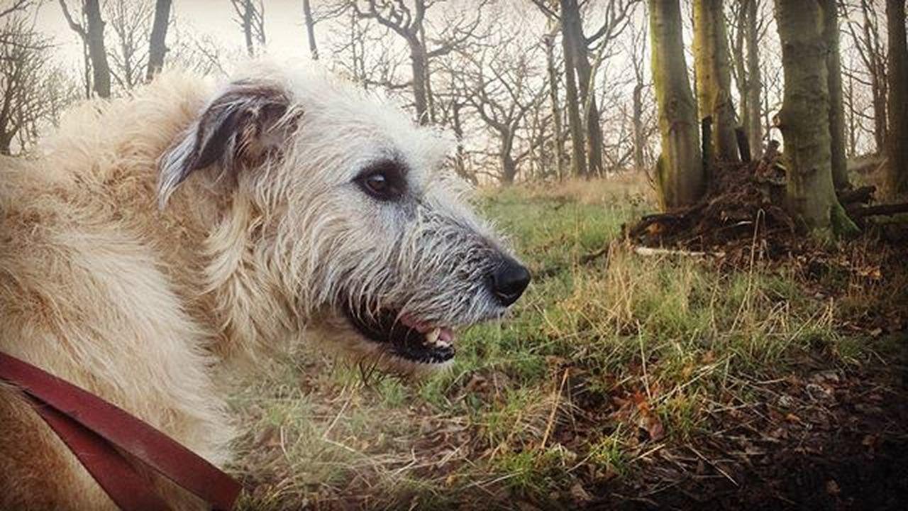 House Stark? Gameofthrones Stark Starks Winteriscoming Wolfie Wolfhound Dogstagram Bestoftheday Picoftheday Irishgirl Ireland Curls Dogsofinstagram 43 Golden Moments